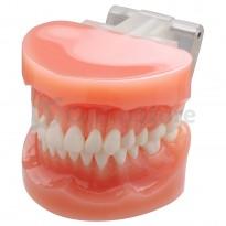 Типодонт без брекетів (рівні зуби)